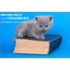 Британские голубой котенок  из питомника Silvery Snow